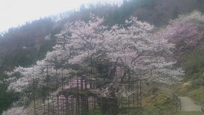 樽見の大桜1-4.3