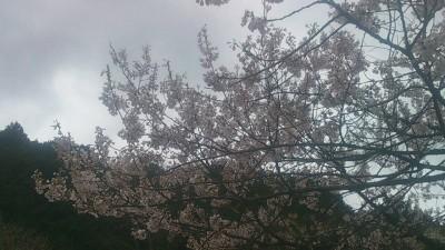 樽見の大桜3-4.3