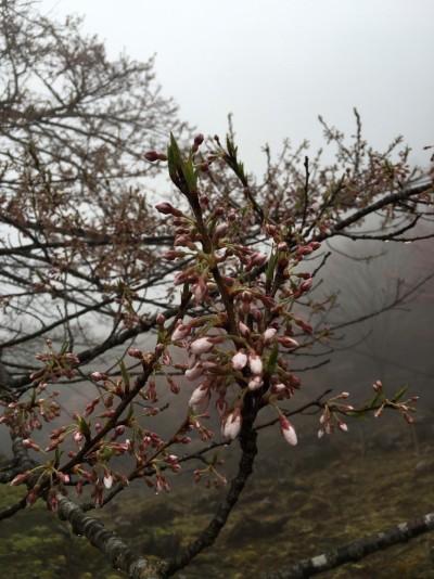 樽見の大桜2016.4.1-2