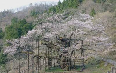 樽見の大桜4.3