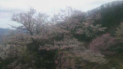 樽見の大桜2-4.3