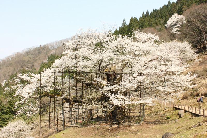 樽見の大桜 (2)