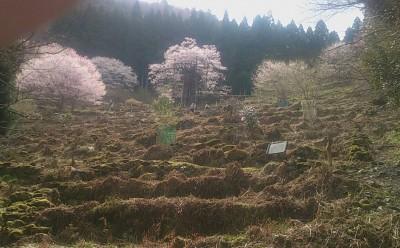 樽見の大桜4-4.3