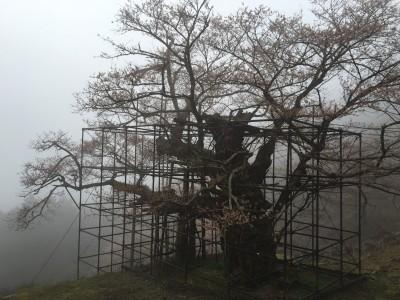 樽見の大桜2016.4.1-1