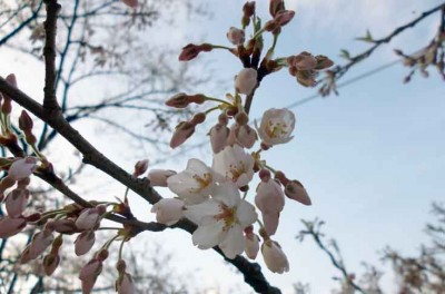 樽見の大桜4.3-1jpg