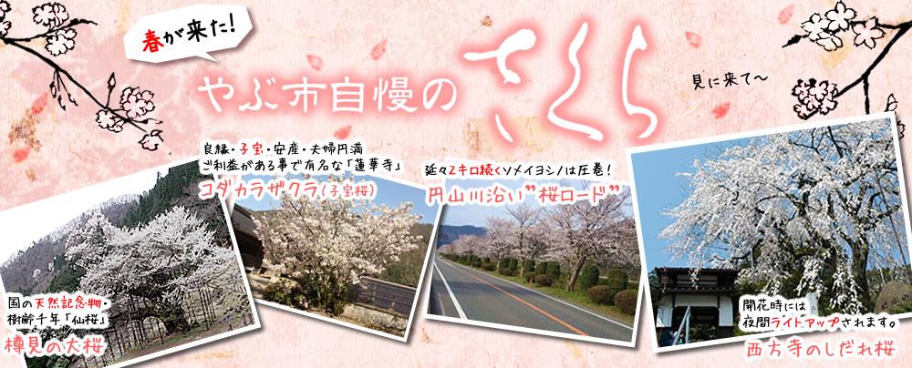 やぶ市内の桜特集